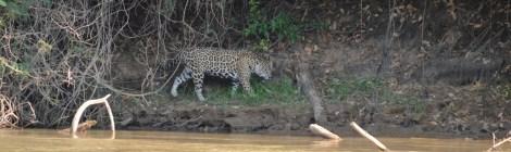 Pantanal, emoção pura em um zoológico a céu aberto.