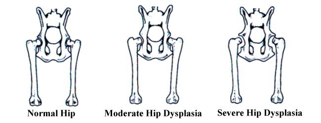 Image result for hip dysplasia in dogs