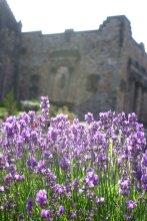 Lavender at Edinburgh Castle