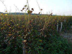 Mildew affected vineyard in Vosne-Romanée