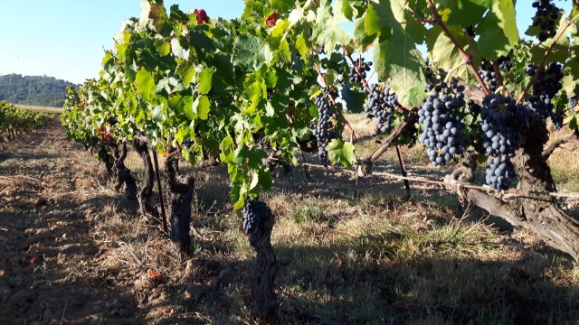 Video Check-In: Harvest 2017 with Domaine du Seminaire