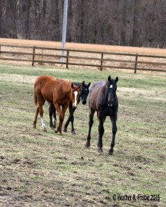 group of curious yearlings at Dove Hill Farm