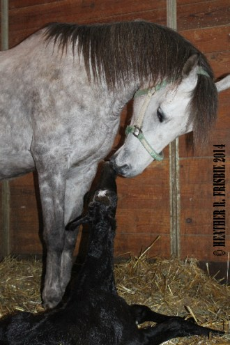 mare Tabby Lane and her Eastwood Dacat colt at Dove Hill Farm