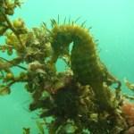 Hippocampe dans le bassin d'Arcachon