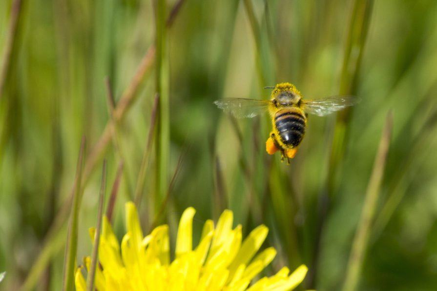 Honingbijen met stuifmeel