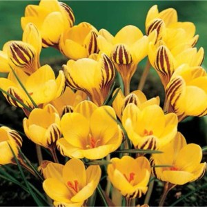 Krokus Fuscotinctus bloembollen – 115 stuks