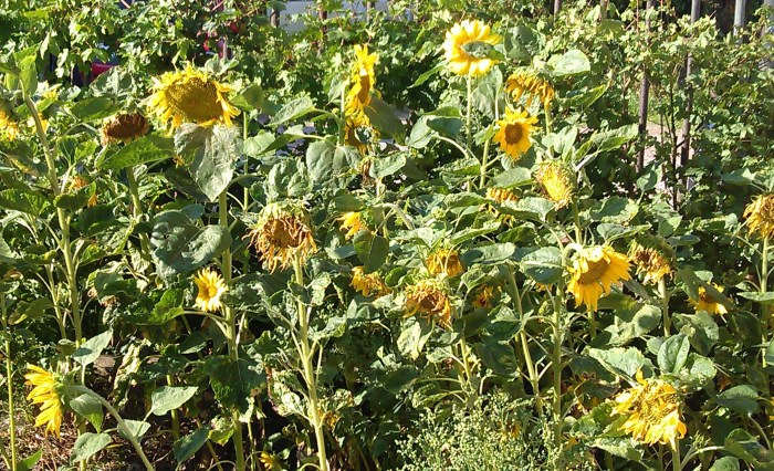 Sunflowers Franzi4