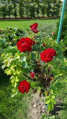 Rosen an der ...