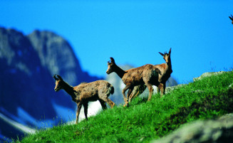 Andorran Isards
