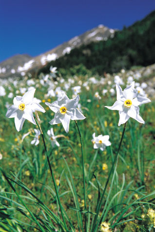 Andorran Daffodils