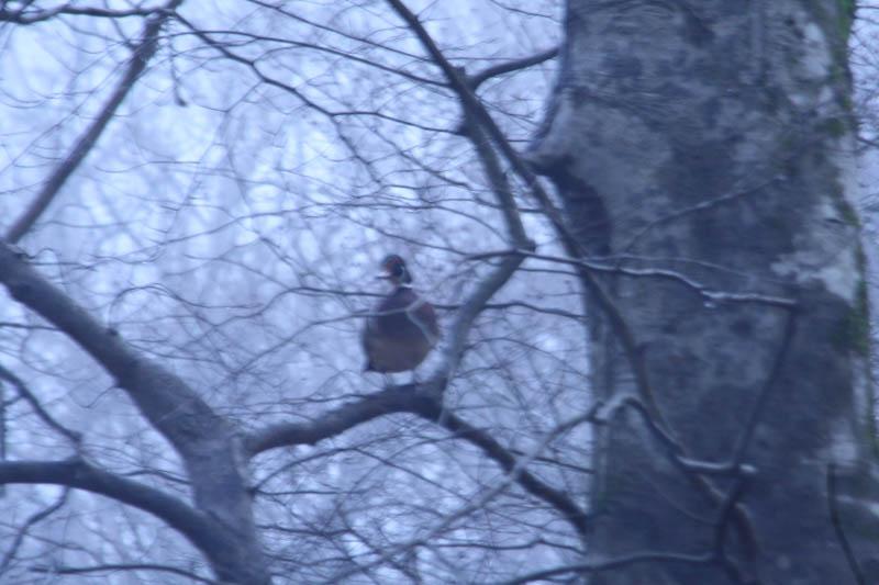 Male Wood Duck in a Tree Side view