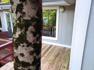 Beechwood tree through deck
