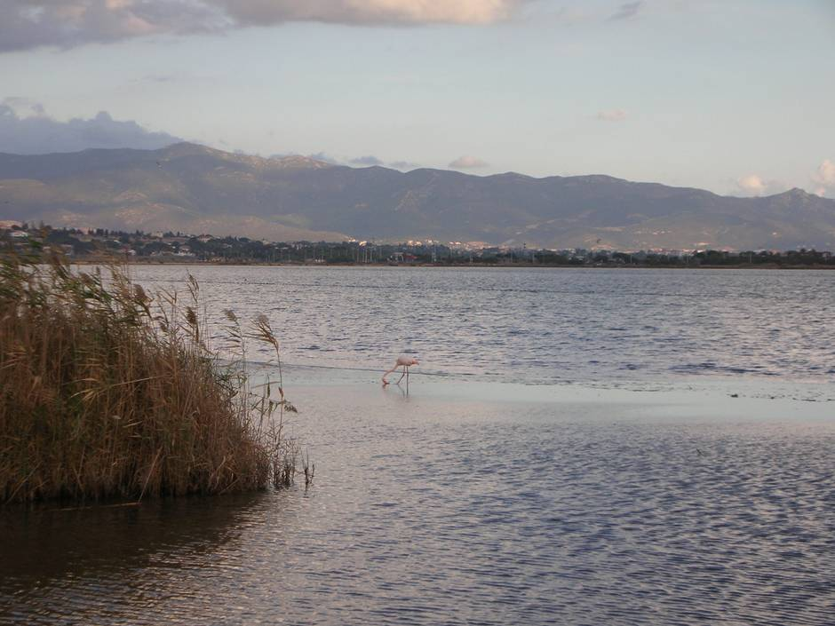 Things to do in Sardinia: admiring a pink flamingo eating in the Stagno di Molentargius