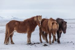Iceland wildlife