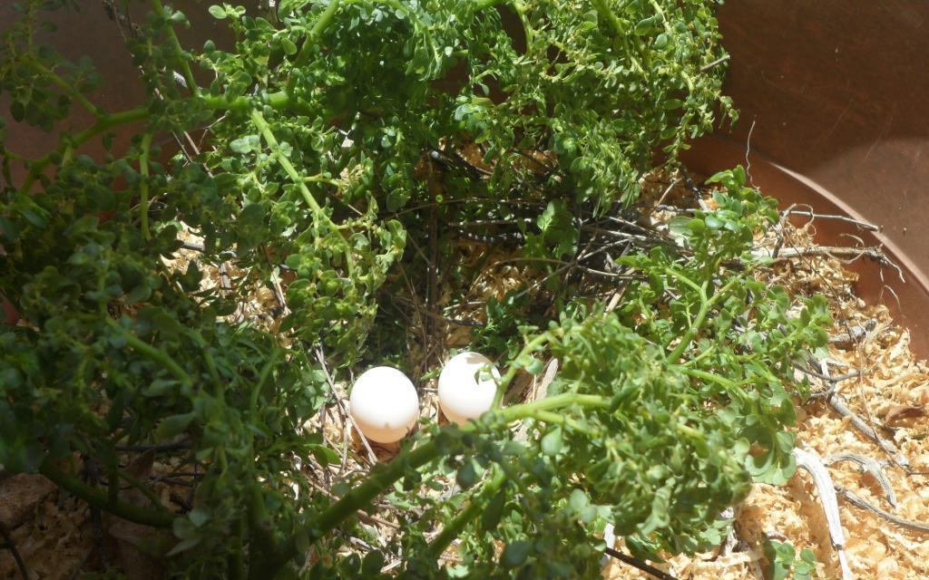 Anguilla's National Bird –  The Turtle Dove is nesting on my porch