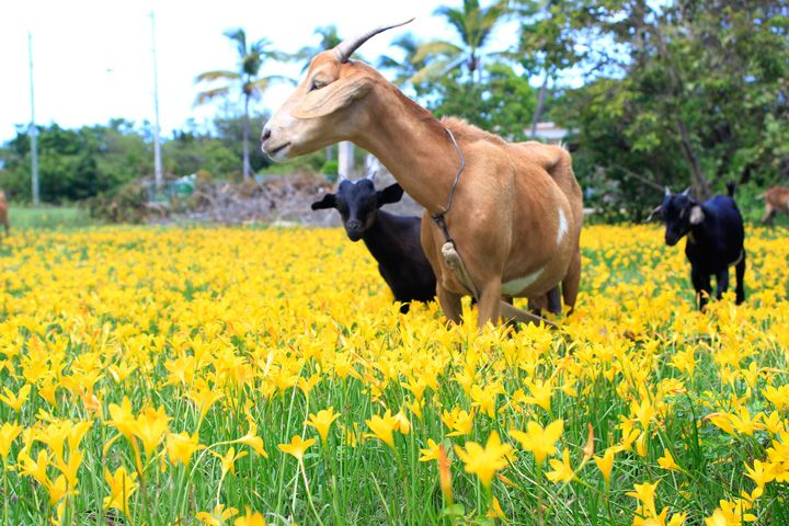 imageRain flowers and goats captured in a field in North Side - Beauty - Photo Credit - Nashaine Johnson