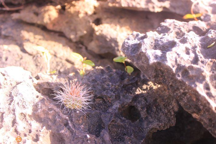 Tiny baby cactus at Windward Point Anguilla