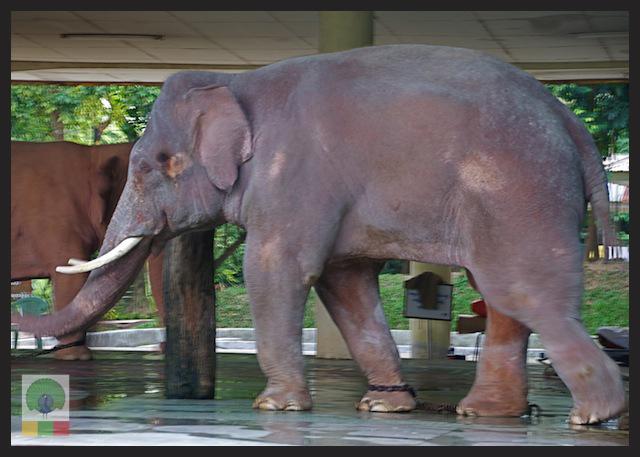 Royal White Elephant Garden - Hsin Hpyu Daw Park - Insein Township - Yangon - Myanmar (Burma) 2