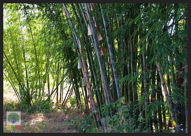 Bamboo forest - Inle Lake - Myanmar (Burma) 2
