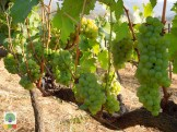 Red Mountain Estate vineyards - Inle Lake - Myanmar Travel Essentials 8