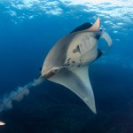 Mantas - Mergui Archipelago Diving Trip - Myanmar Travel Essentials 2