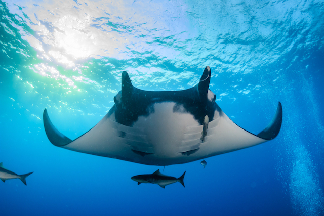 Mantas - Mergui Archipelago Diving Trip - Myanmar Travel Essentials 3