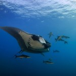 Mantas - Mergui Archipelago Diving Trip - Myanmar Travel Essentials 4