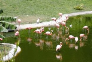 A flock of Caribbean flamingos