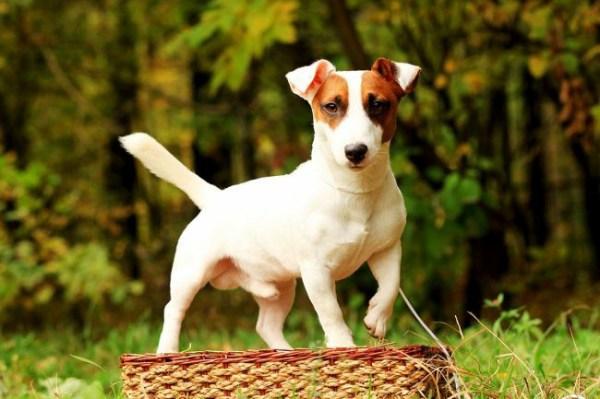 Собака из фильма «Маска»: фото собаки, цена, какая порода