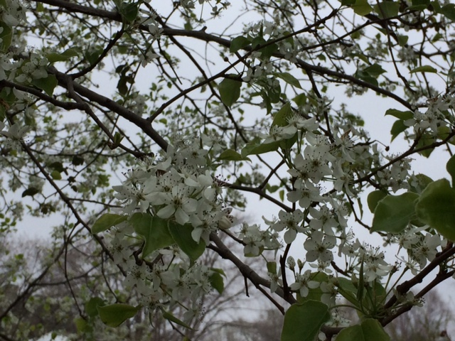 pear_blossoms