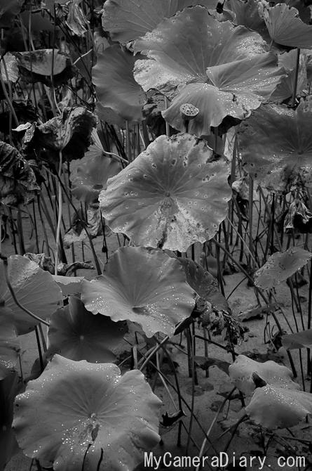 China Photo | Late Autumn Lotus In Jinli