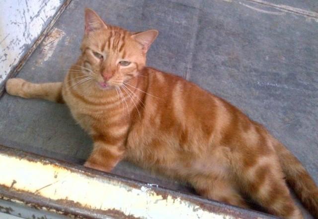 chat karaibe couché