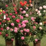 IMG_3191 roses