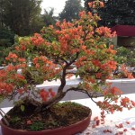 IMG_3197 bonsai bougainvillea