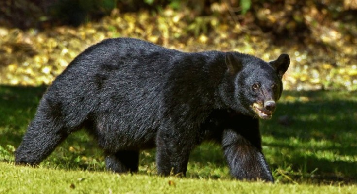 Pennsylvania Sets New State Record Bear Harvest