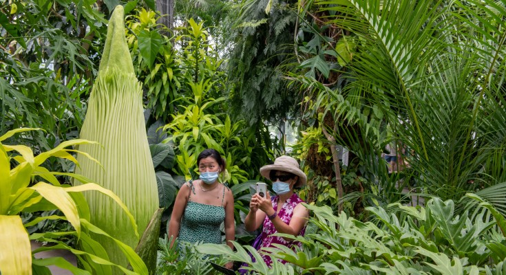 Rare Titan Arum, or Corpse Flower, Readies Bloom at Longwood Gardens