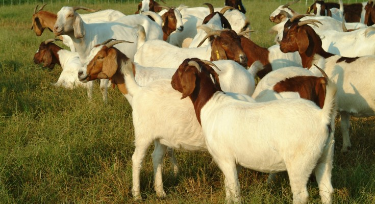 Ram Lamb, Meat Goat Buck Performance Tested Sale to be Held Online Only
