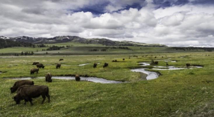 yellowstone-np-nps-photo-jacob-w-frank-bison-lamar-valley-landscape