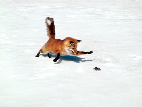 chasing-a-snack-red-fox.jpg