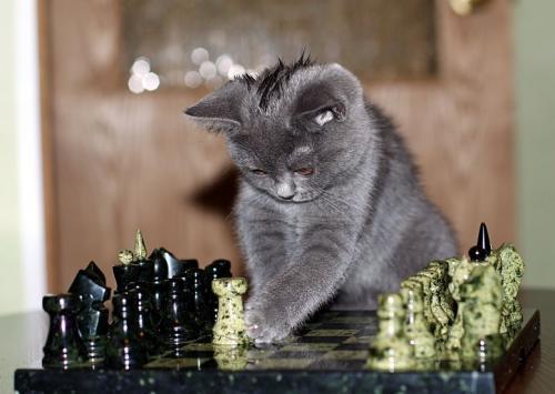 kitty-chess.jpg