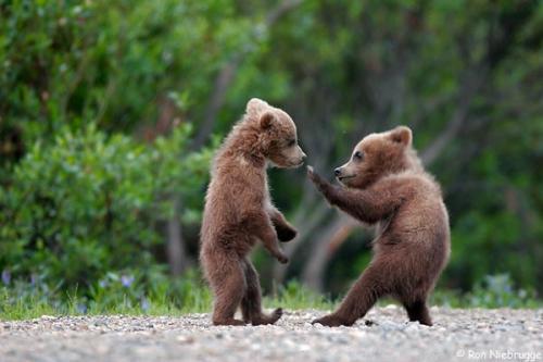 ninja-bear