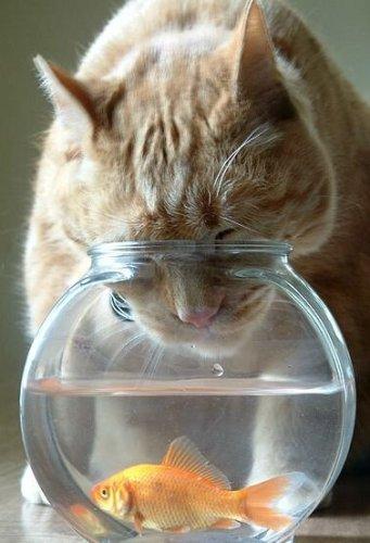 Cat Vs Fish In Fish Bowl