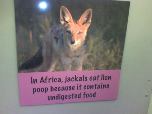 in Africa, jackals eat lion poop because it contains undigested food