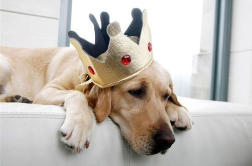 Sad King Dog