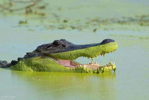 Algae gator