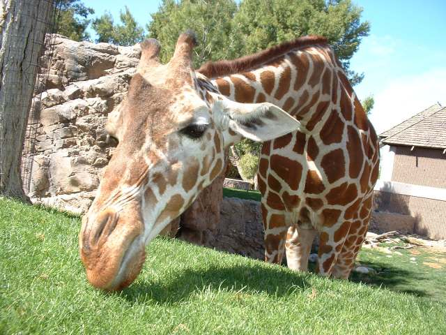 Giraffee Eating Grass