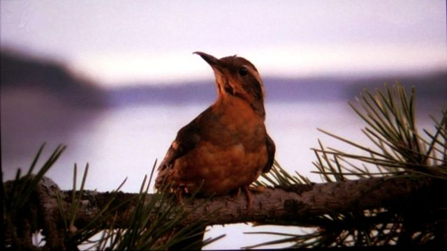 the twin peaks bird