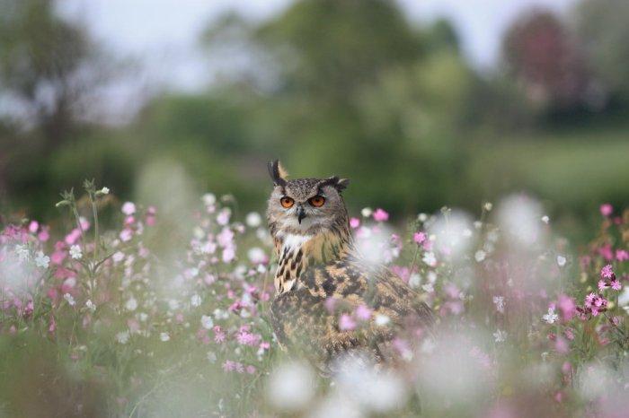 field owl