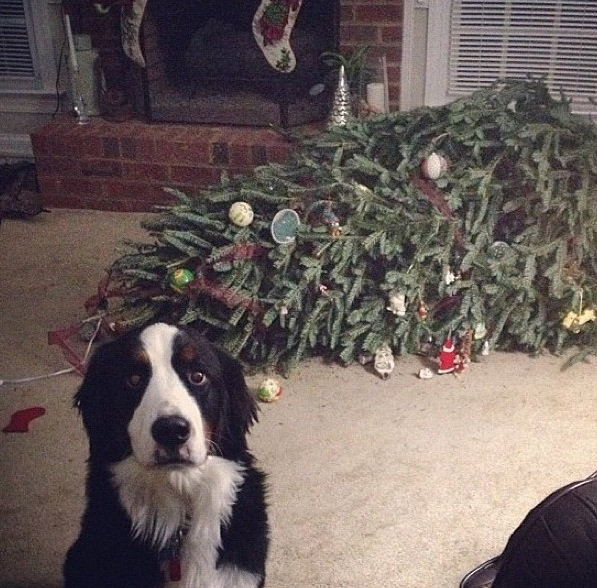 guilty dog vs xmas tree.jpg