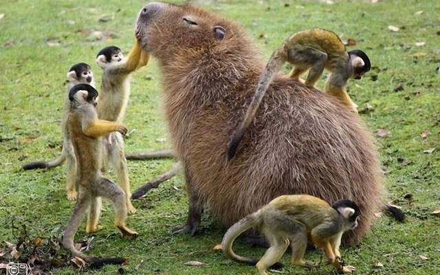 Monkey petting Capybara.jpg